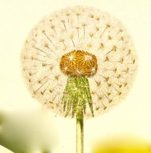 Diente de León, flor